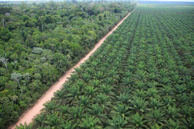 Resultado de imagem para palmeiras amazonicas dende